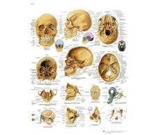 Lámina 3B Rehab El Cráneo Humano