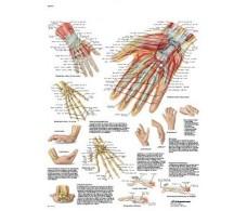 Framed Hand and Rehab 3B radiocarpal joint