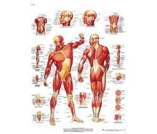 Print 3B Rehab Musculature